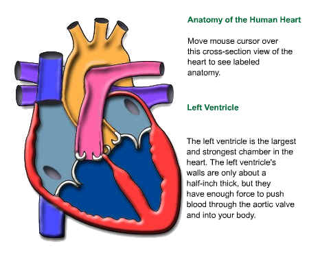 Old fashioned the heart parts and functions crest anatomy and index of rdunlopcoplandmainscience91805 ccuart Images